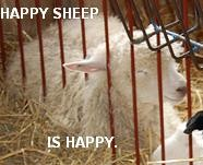 happy lolsheep