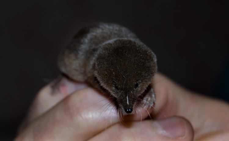 pygmy shrew_7941