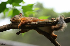 lazy afternoon (* Yumi *) Tags: favorite animal zoo squirrel explore soe  naturesfinest fpc yourfavorite 25faves abigfave platinumphoto anawesomeshot theunforgettablepictures goldstaraward vosplusbellesphotos