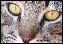 Pat's Beautiful Eyes ~ Explore # 500~ Thanks Everyone!!! (auzriell) Tags: explore bestofcats brillianteyejewel goldstaraward