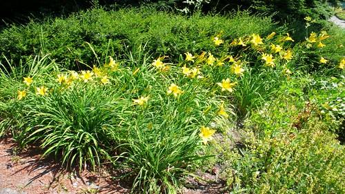 Tiger Lilies in Zuchwil Garden Center