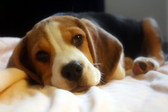 Oscar (photographerglen) Tags: dog pet cute love beagle animal canon puppy oscar sweet sleepy tired 100views 400views 300views 200views 500views pup 50views 100comments 50comments 150comments 25favorite