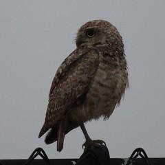 Burrowing Owl-IMG_3918-Alviso-crop (gimlack) Tags: birds athenecunicularia burrowingowl diskdrive 100400 alvisocalifornia