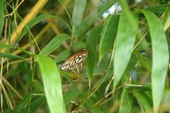 Butterfly (kyureodo) Tags: beach florida royal bamboo palm bambusa vulgaris inversa vittata dendrocalamus latiflorus