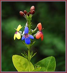 Una Flor para Venezuela (zullian) Tags: azul rojo nikon venezuela flor amarillo julio bandera 2008 vino tinto d80 abigfave auniverseofflowers