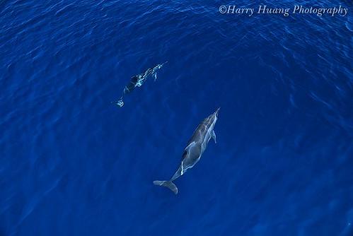 1_8237-Dolphin- I-Lan, Taiwan 宜蘭-長吻飛旋海豚- a photo on Flickriver
