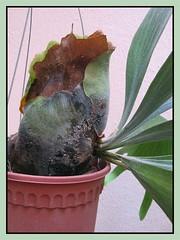 Platycerium bifurcatum: macro of basal (shield/sterile) and foliar (fertile) fronds