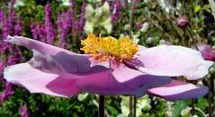 Shine on me! (gypsie2 ~ On/Off) Tags: pink flower macro naturesfinest fineartphotos perfectangle diamondclassphotographer flickrdiamond macromarvels theperfectphotographer gnneniyisi s100fs mimamorflowers thebestofdaybr awesomeblossoms naturallymagnificent