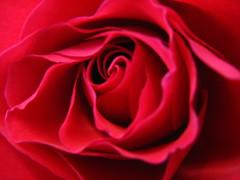 RED ROSE (pnsflsun) Tags: redrose macrorose closeuprose