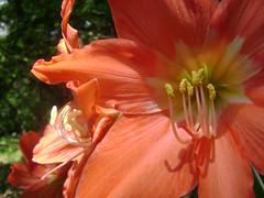 DSC08349 (Carlos jahovia) Tags: naturaleza flores jardin contraste androceo