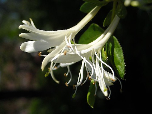 Japanese Honeysuckle profile