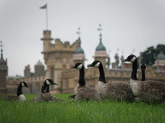 """76: Geese at Knebworth (archers30 - """"thanks for all the fish"""") Tags: uk birds digital countryside geese wildlife knebworth archers30"""