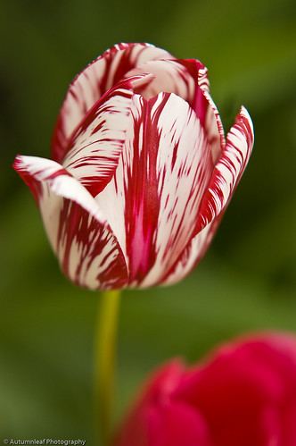 Red and white strips tulip (by autumn_leaf)