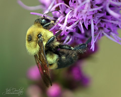 complimentary buzz (jaki good miller) Tags: nature buzz interestingness bravo colorful bee bumblebee explore exploreinterestingness jakigood liatris complimentary pollination gayfeather top500 explorepage insectsandspiders explored explorepages