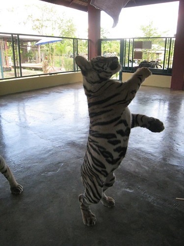 Playtime with the tiger cubs
