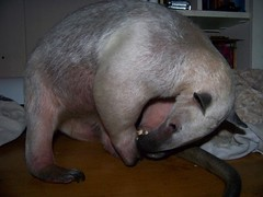 Anteater's have tooth envy