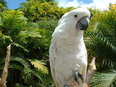 Umbrella Cockatoo by JunCTionS, on Flickr
