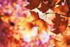 (Lee_Bryan) Tags: autumn newyork leaves canon maple bokeh centralpark hbw