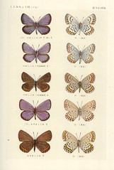papillon 50