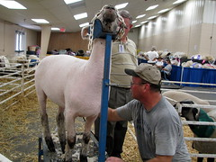 100 Things to see at the fair #75: Shearing sheep
