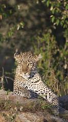Olive (Lyndon Firman) Tags: olive leopard masaimara pantherapardus impressedbeauty
