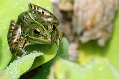 Froggy by Katka S.