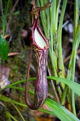 Pitcher plant, Gunung Api, Mulu, Borneo (Nepenthes Faizaliana)