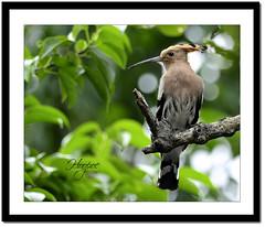 Common Hoopoe (Upupa epops) (Z.Faisal) Tags: green bird nature nikon beak feathers aves nikkor common eurasian bangladesh upupaepops hoopoe avian pati bipedal bangla faisal desh d300 zamir khulna shyamnagar upupa eurasianhoopoe epops sundarbans sundarban pakhi philomel endothermic specanimal satkhira commonhoopoe nikkor300mmf4 hoodhood tereus zamiruddin globalbirdtrekkers zamiruddinfaisal burigoalini ttlsafari kalagachistation kholpetuariver patihoodhood zfaisal