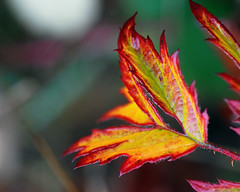 Blackberry Autumn (Gigapic) Tags: autumn fall leaves leaf blackberry nikkor thorn 60mm28 pfogold herowinner