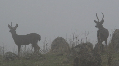 Bucks in the mist