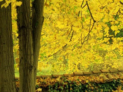 Yellow magic in Boyana