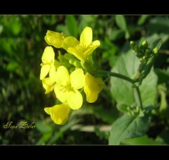 `Yellow (Dreaming ...) Tags: flower green yellow lahore wazirabad colorsofpakistan