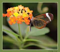 Glass butterfly 2 (Andy Coe) Tags: butterfly exotic colourful rotherham southyorkshire butterflyfarm northanston
