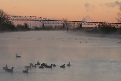 Geese in the mist (deanspic) Tags: winter mist ice water dawn geese cornwall migration snowgeese freezeup cornwallcanal slbswimming