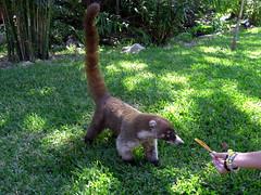 TEJÓN (osgulu) Tags: travel animal mexico rivieramaya tejon osgulu