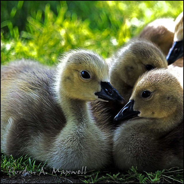 Goslings A