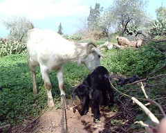 Ighayd & tghat (Jamal Elkhalladi) Tags: nature animals morocco maroc animaux milli   hassi   berkane   triffa