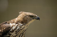 Falcon - Hungry eyes (Mohamad Faizal Omar) Tags: nature birds d50 eyes nikon sharp malaysia falcon hunter kuala nikkor lumpur 80200mm birdpark 329 klbirdpark explorefeb26 specanimal avianexcellence theperfectphotographer mohamadfaizalomar