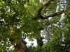 竹山鎮中和里救人老茄苳樹DSCN0195