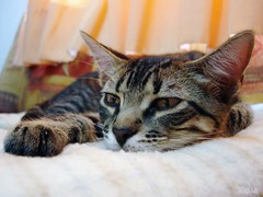 Sweet Kal-El (Kitty & Kal-El) Tags: pet animal closeup cat feline gato felino kalel cc100 5prettykittycommentsparti