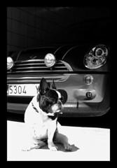MiNuki (susilalala) Tags: mini frenchbulldog minicooper bf nuka bulldogfrancés nukita