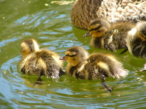 zomg more ducklings!!1!