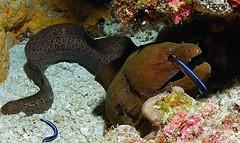 Moray Eel with wrasse & shrimps (gillybooze (David)) Tags: underwater shrimp malaysia moray southchinasea wrasse layanglayang goldstaraward madaleundewaterimages