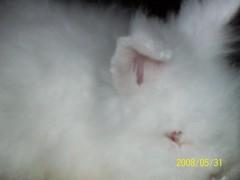 Latte closeup (wardahputeri) Tags: white cute rabbit bunny coffee beautiful fur pretty comel adorable fluffy dwarfrabbit jerseywooly cuddly lil latte bun plushtoy bunbun huggable arnab plushtoys coffeelatte my mixbreedrabbit netherlandsdwarffrenchangoramixbreed arnabcomel mynameislatte lopearedangora