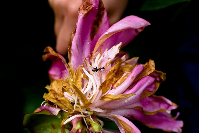 wilting flower, crawling ant