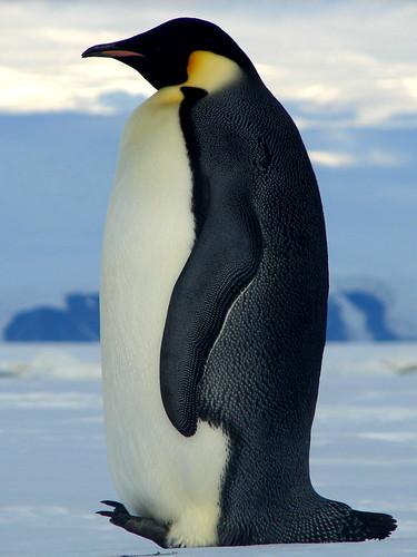 [フリー画像] 動物, 鳥類, ペンギン科, 皇帝ペンギン, 南極, 200807100900