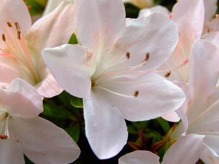 皐月~白花
