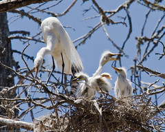 Great Egret (Ardea alba) chicks with parent in nest, Morro Bay H (mikebaird) Tags: bird birds birding aves explore mostinteresting chicks morrobay egret fairbanks greategret rookery ardeaalba specanimal mikebaird bairdphotos isawyoufirst avianexcellence 19june2008 nestingbirds4andrew