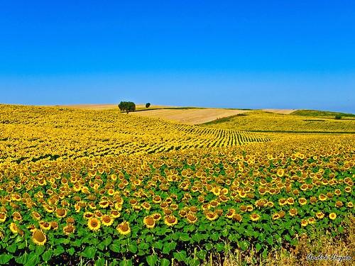 Campo de Girassóis / Sunflowers Field por andrediaslopes.
