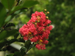 Red Crepe Myrtle (rickm FL) Tags: red fab nature crepemyrtle potofgold brooksvillefl golddragon ultimateshot bestnatureshots goldstaraward photosexplore richardsphotography awesomeblossoms